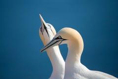 Северное gannet, птицы в влюбленности Стоковые Фотографии RF