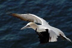 Северное gannet Стоковая Фотография