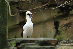 Северное gannet Стоковое фото RF