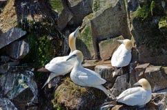Северное gannet стоковая фотография rf