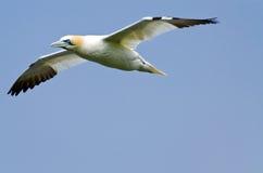 Северное gannet стоковые фотографии rf