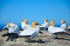 Северное gannet Стоковое Изображение RF