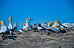Северное gannet Стоковые Изображения