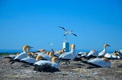 Северное gannet Стоковые Изображения RF