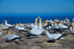 Северное gannet Стоковые Фото
