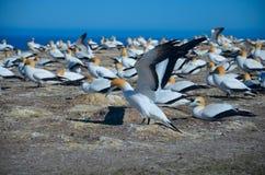 Северное gannet Стоковое Изображение