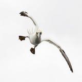 Северное Gannet (bassanus Morus) в полете Стоковые Фото