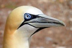 Северное gannet, Gaspésie, Канада стоковое изображение