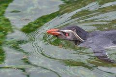 Северное moseleyi хохлатого пингвина пингвина rockhopper Одичалый anima жизни Стоковое фото RF