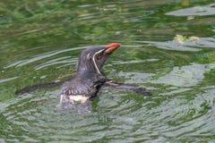 Северное moseleyi хохлатого пингвина пингвина rockhopper Одичалый anima жизни Стоковое Изображение
