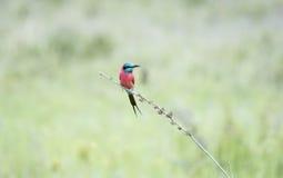 Северное nubicus Merops Пчел-едока кармина садилось на насест на ветви Стоковые Фото
