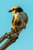 Северной Shrike увенчанное белизной Стоковая Фотография RF