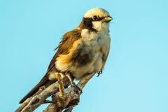 Северной Shrike увенчанное белизной Стоковые Изображения RF