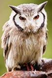 Северные Бело-лицые leucotis Otus сыча Стоковая Фотография RF