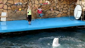 Северные Дельфин-киты танцуя вальс в воде видеоматериал