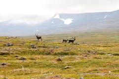 северные олени злаковика Стоковая Фотография