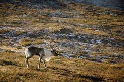 северные олени Лапландии Стоковая Фотография