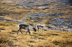 северные олени Лапландии Стоковые Изображения