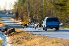 Северные олени почти причиняя столкновение стоковое фото