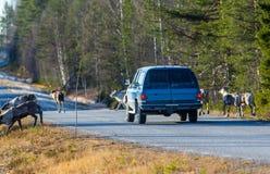 Северные олени почти причиняя столкновение стоковые фото