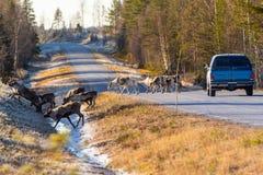 Северные олени почти причиняя столкновение стоковые изображения