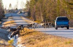 Северные олени почти причиняя столкновение стоковые фотографии rf