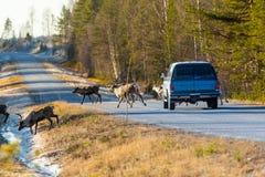 Северные олени почти причиняя столкновение стоковая фотография