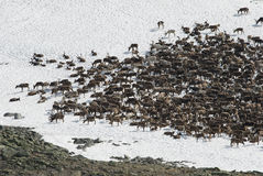 северные олени табуна Стоковые Изображения RF