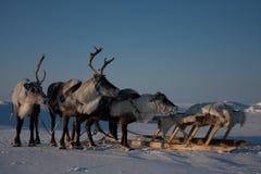 северные олени Стоковое Изображение