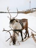 северные олени 2 Стоковые Фотографии RF