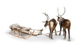 северные олени 2 Стоковое Фото