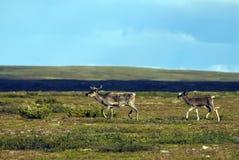 Северные олени Стоковое Изображение RF