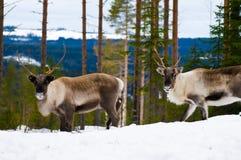 северные олени стоковое фото