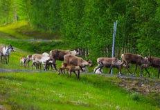 Северные олени бежать к лесу стоковое изображение rf