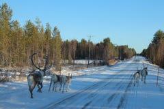 Северные олени бежать перед автомобилем Стоковое фото RF
