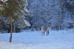 Северные олени в лесе Стоковые Фотографии RF