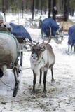 Северные олени в зиме Стоковые Изображения