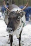 Северные олени в зиме Стоковая Фотография