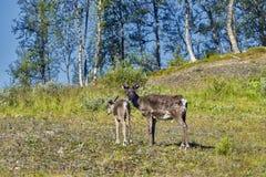 Северные олени в окружающей среде, зоне Roros стоковые фотографии rf