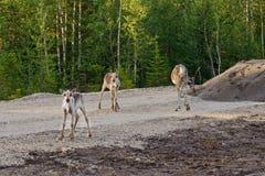 Северные олени избегают от насекомых на куче гравия Стоковые Изображения