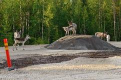 Северные олени избегают от насекомых на куче гравия Стоковое Фото