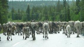 Северные олени на дороге стоковые фотографии rf