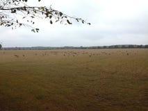 Северные олени на поле стоковое фото