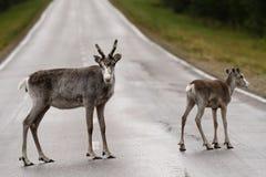 Северные олени на пути привода Стоковая Фотография