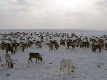 Северные олени на yagelny выгоне Стоковое Фото