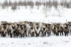 Северные олени проникают для самый лучший пасти в тундре стоковые фотографии rf