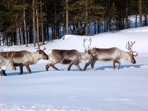Северные олени Стоковые Изображения
