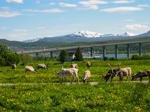 Северные олени Стоковая Фотография