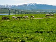 Северные олени Стоковые Изображения RF