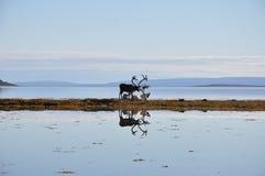Северные олени Nordkapp на пляже Стоковые Фото